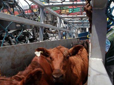 STF – Plenário invalida proibição de transporte de animais vivos em Santos (SP)
