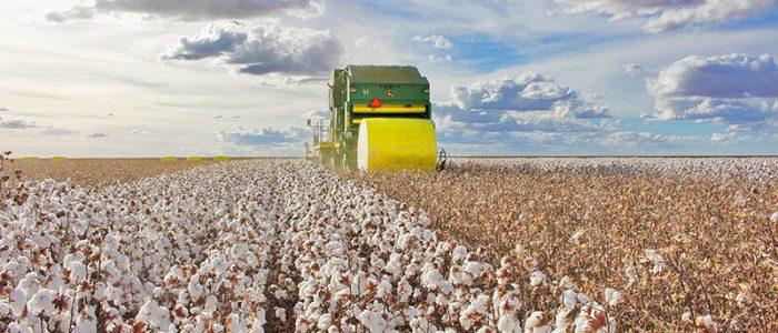 MT está em vazio sanitário do algodão